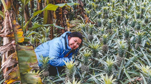 pineapple plantation Sapa
