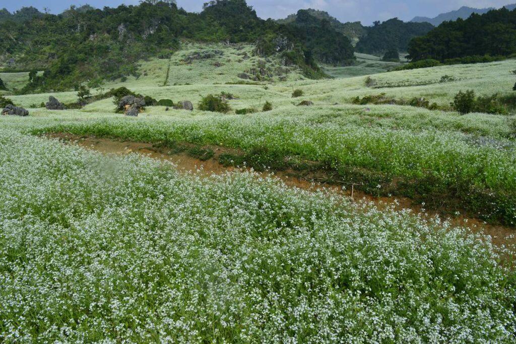 Moc Cha flower fields